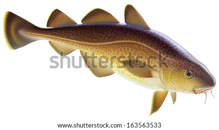 Atlantic cod. Editable vector illustration isolated on white background.