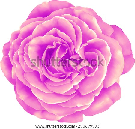 Beautiful colorful Rose Flower isolated on white background. Vector illustration