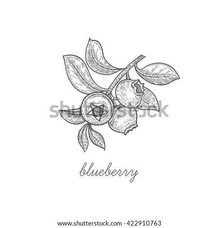 Blueberry Blueberry Blueberries Sketch Vector Illustration ...