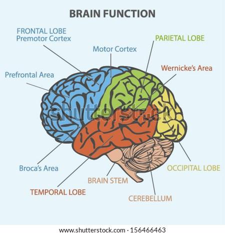 Brain Sections Vector Stock Vector 113340007 - Shutterstock
