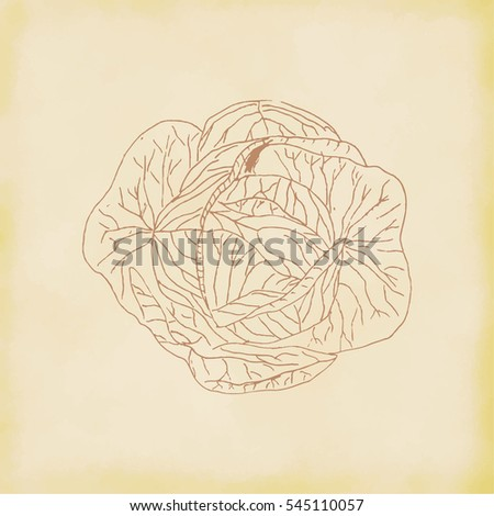Cabbage hand drawn. Vector Illustration.