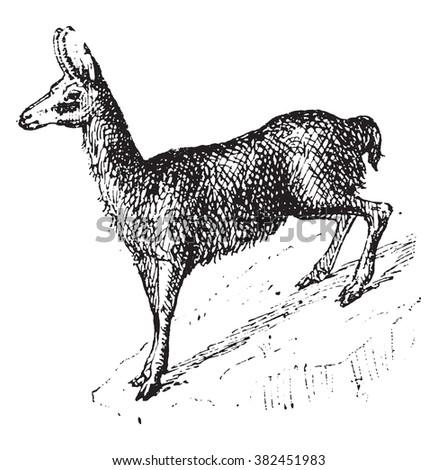 Chamois Rupicapra Rupicapra Antilope Rupicapra Vintage Stock - chamois animal coloring pages