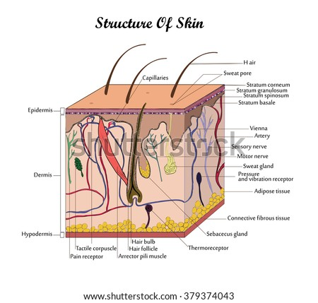 Medical education chart biology skin diagram stock vector coor vector structure skin with signatures ccuart Image collections