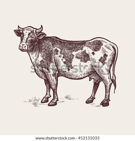 Cow Vector Illustration Illustration Cattle Vintage Stock ...