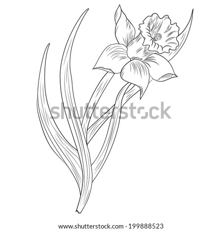 Daffodil flower or narcissus isolated on white background