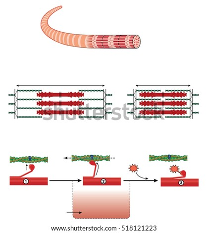 Detail of a muscle sarcomere showing thin and thick filaments and mechanism of mechanical contraction
