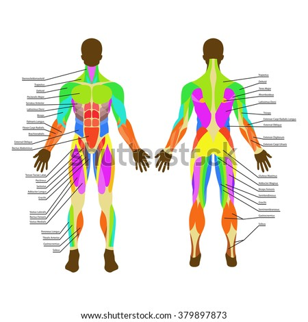 muscles thorax vector illustration muscle system stock vector, Muscles