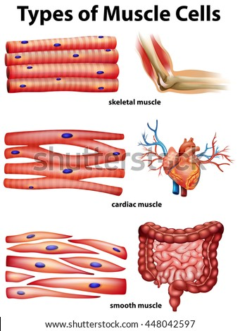 types of muscle tissue Thus an appreciation of the major features of these four basic tissue types can greatly simplify your understanding of the (connective tissue or muscle.
