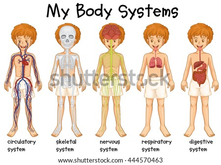 six main human body systems high stock illustration 19834270, Muscles