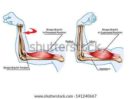 anatomy muscular system hand palm muscle stock vector 112116383, Muscles