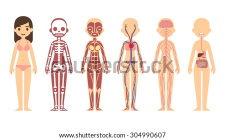 stylized human body anatomy chart skeletal stock vector 286438385, Muscles