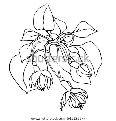 Figs Tree Brunch Vector Hand Drawing 588837908