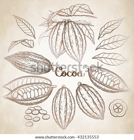 Graphic cocoa fruit collection isolated on aged paper. Hand drawn exotic cacao plant in brawn colors