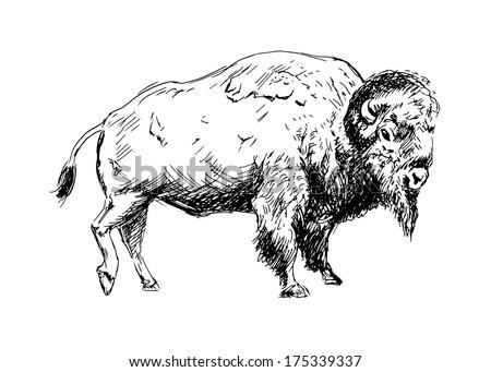 American Bison Head American Bison Head Drawing
