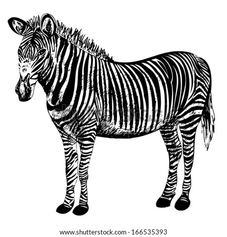 Hand-drawn zebra vector - isolated animal vector on white background