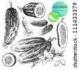 Highly detailed hand drawn illustrations of cucumbers isolated on white background - stock vector
