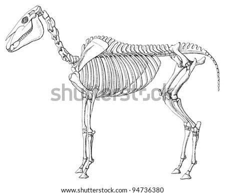 diagram horse skeleton stock vector 131817179 shutterstock. Black Bedroom Furniture Sets. Home Design Ideas