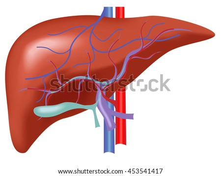 liver structure human liver scientifically accurate stock vector, Human Body
