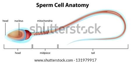 Human Sperm Cell Stock Photo 83908756 - Shutterstock
