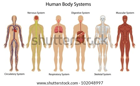 six main human body systems high stock illustration 19834270,