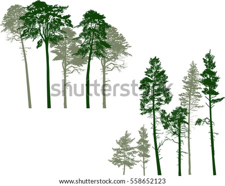 illustration with pine trees groups isolated on white background