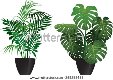 Kentia and philodendron plants in the pots