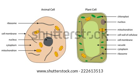 Labelled Diagrams Typical Animal Plant Cells Stock Vector ...