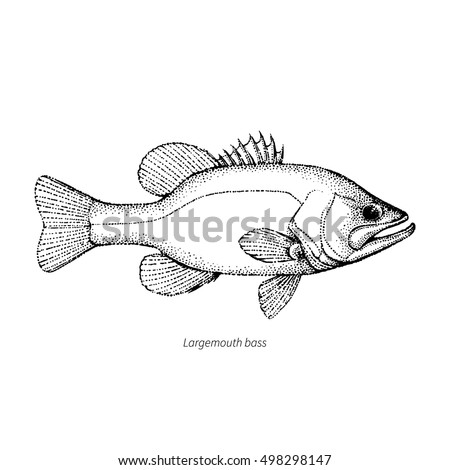 Largemouth Bass Fish Hand Drawn Outline Illustration Vector Isolated On White Background