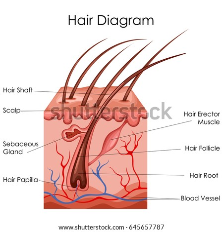 Medical education chart biology skin diagram stock vector medical education chart of biology for hair diagram vector illustration ccuart Image collections