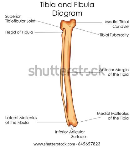 fibularis peroneus longusb anatomy leg foot stock vector ... v6 engine cylinder head diagram #3