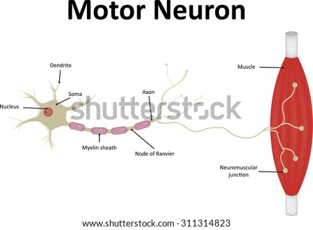 Neuron Synapse Labeled Diagram Stock Illustration