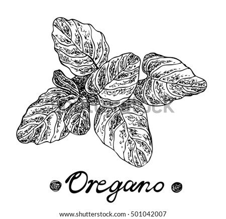 Oregano spice. Vector hand drawn illustration for design menus, recipes and packages products.