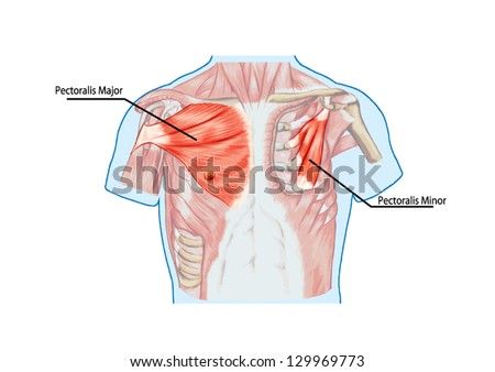 pectoralis major muscle muscles chest thorax stock vector, Muscles