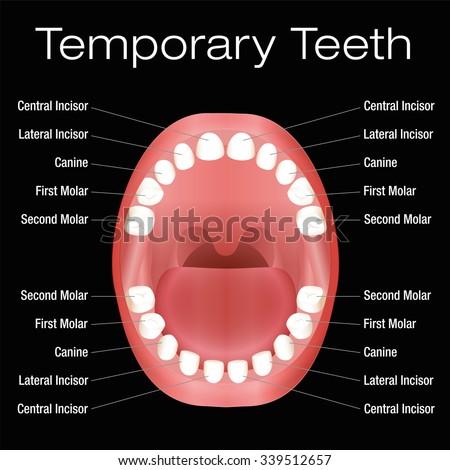 Teeth Names Permanent Teeth Eruption Chart Stock Vector ...