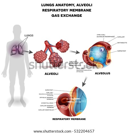 Respiratory system organs, lungs and alveoli. Respiratory membrane of alveolus, detailed anatomy, oxygen and carbon dioxide exchange between alveoli and capillaries, external respiration mechanism.