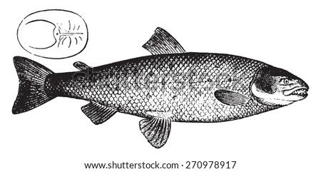 Salmon, vintage engraved illustration. Natural History of Animals, 1880.