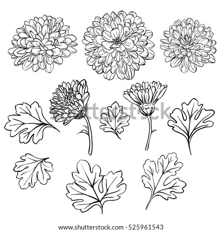 Set of beautiful chrysanthemum flowers on white background