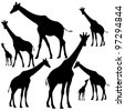 set of fine giraffe silhouettes - black outlines on white - stock vector