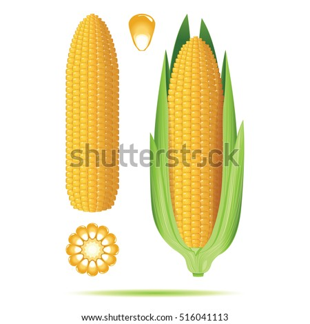 Set of ripe corn cobs isolated on white background. Vector illustration.