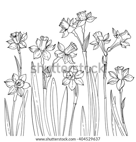 Set Of Vector Drawings Flowers Daffodils Line Drawn On A White Background Spring