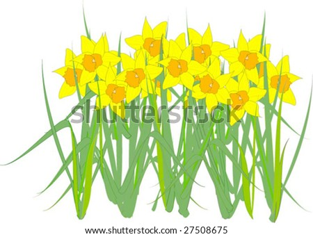 Spring Daffodils. Vector illustration with white background.