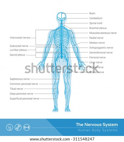 Human nervous system on display - photo#32