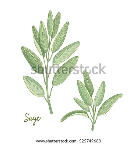 hand drawn vintage illustration herbs spices stock vector