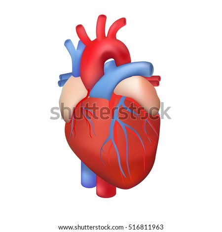 vector human heart on a white background