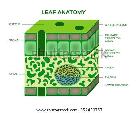 Leaf Structure Diagram Diagram Biology Leaf Structure Diagram Mtm
