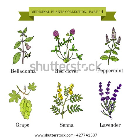 Vintage collection of hand drawn medical herbs and plants, belladonna, red clover, peppermint, grape, senna, lavender. Botanical vector illustration