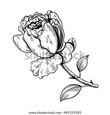 Contour Rose Vector Hand Drawn Illustration Stock Vector 337714661