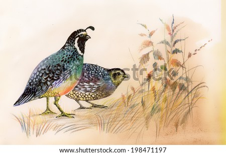 Watercolor Common Quails vector